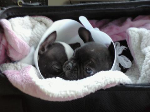 PuppiesForSaleSite.com Teacup Puppies Parvo Puppies from Jim ...